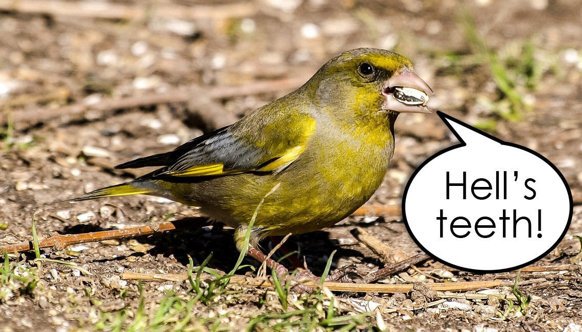 "A greenfinch with a speech bubble saying ""Hell's teeth!"" superimposed. An example of one of the dadisms I now use."