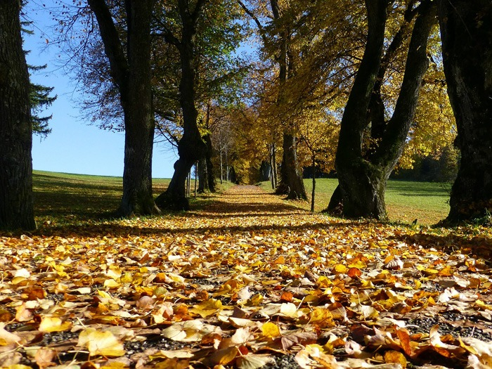 Autumn leaves on a path.