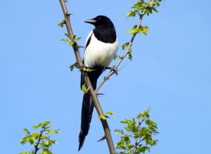A magpie in a tree.