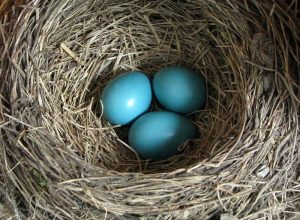 Three blue eggs in a nest.