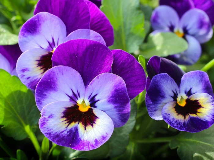 Some purple pansies.