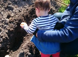 A toddler planting potatoes.