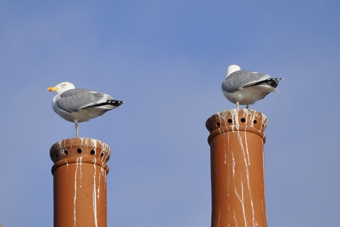 Two seagulls sitting on chimneys.