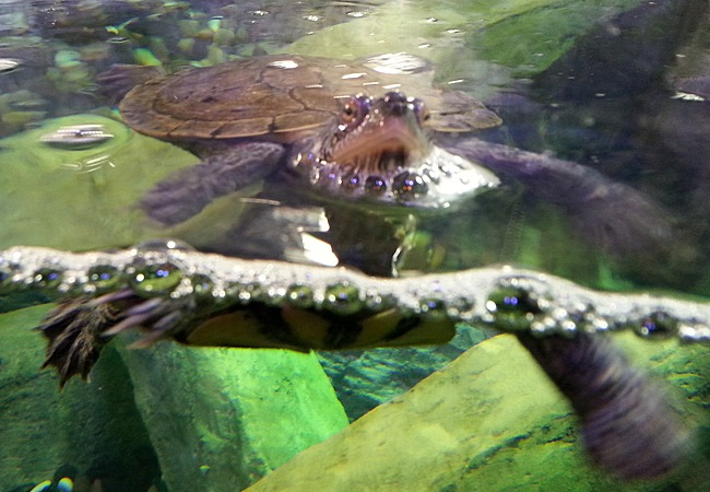 A terrapin swimming and looking at the camera.