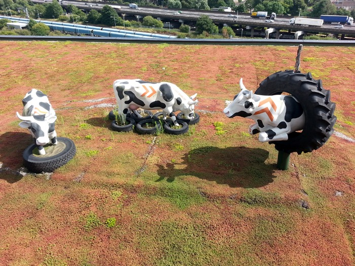 Three life size model cows inside giant tyres on a rooftop with a motorway in the background.