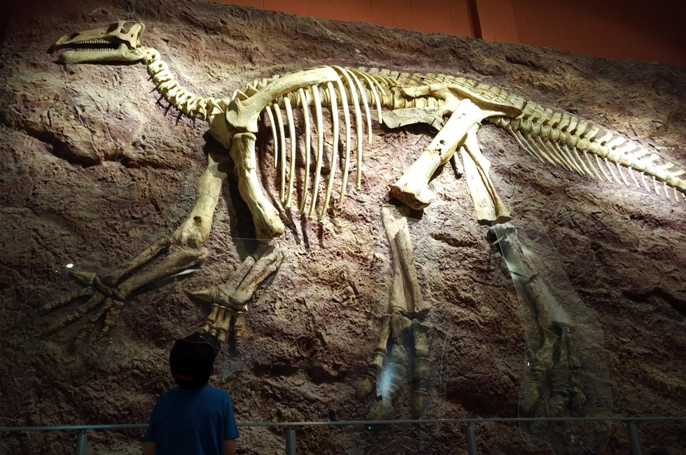 A child looking at a dinosaur skeleton at Dinosaur Isle.
