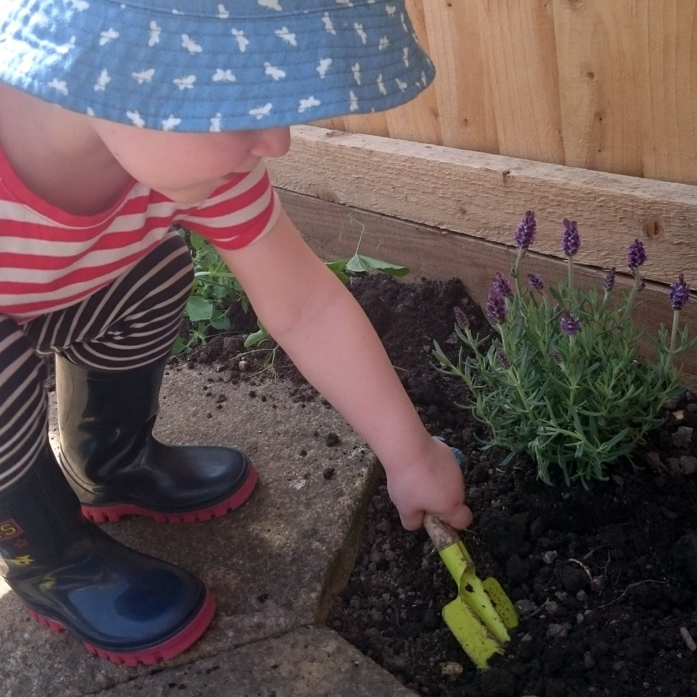 A toddler planting lavender in a garden.